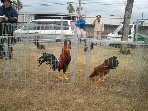 薩摩鶏品評会中央支部2