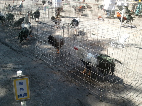 薩摩鶏品評会 県24 5