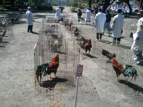 薩摩鶏品評会 県24 4