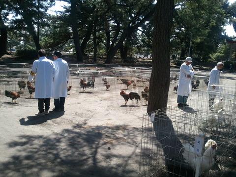 薩摩鶏品評会 県24 10