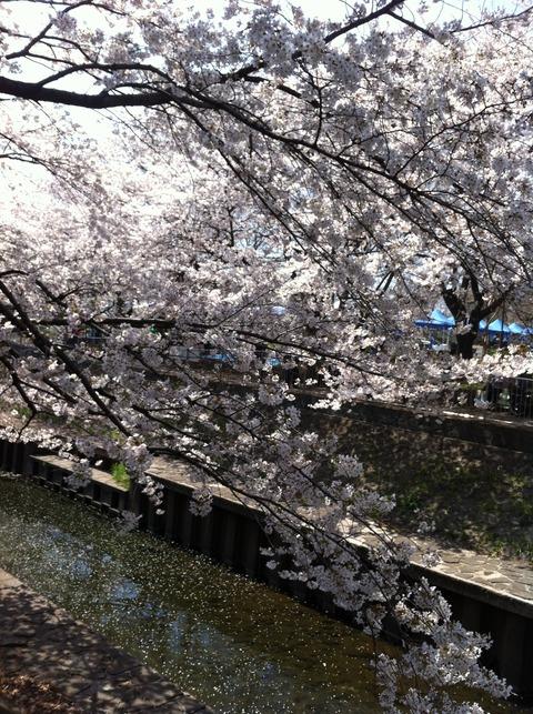 善福寺川の桜34