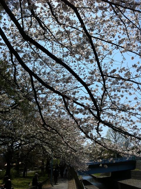 善福寺川の桜35