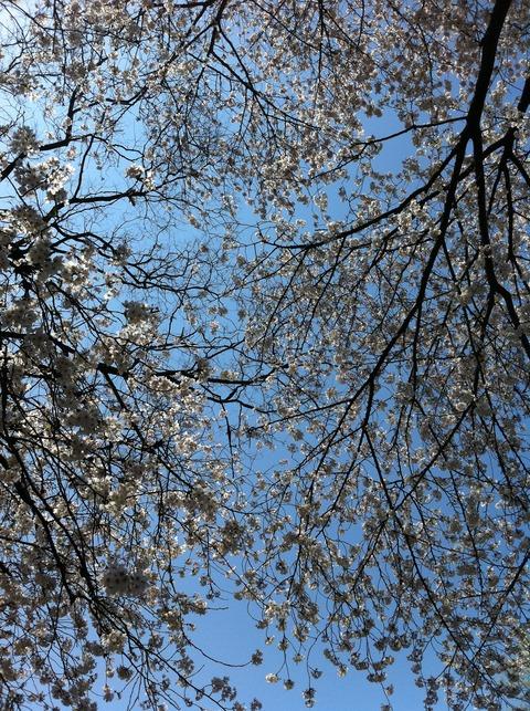 善福寺川の桜38