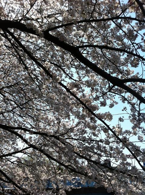 善福寺川の桜36