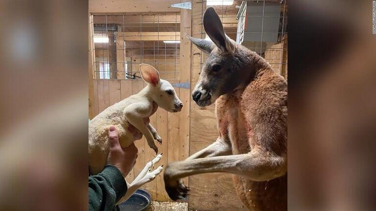 珍しい「白変種」のカンガルーが誕生 米NY動物園