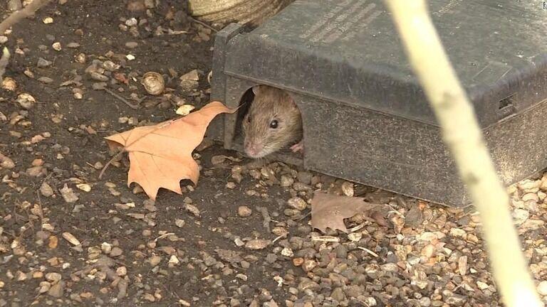 都市封鎖でネズミ大量繁殖、体長40センチも 英ロンドン
