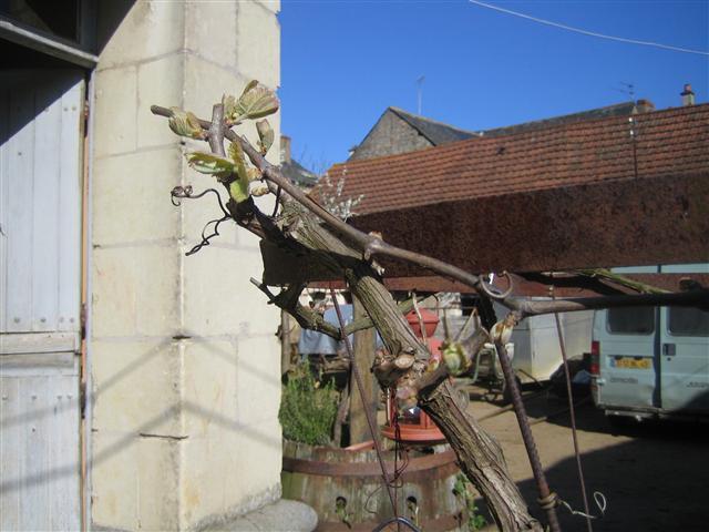 オリヴィエの庭の葡萄の木①