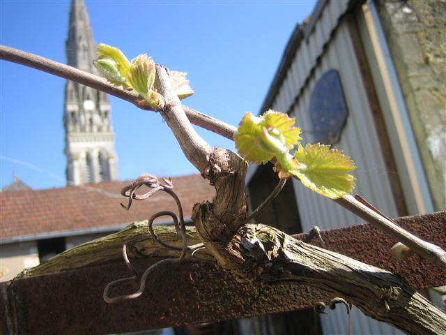 オリヴィエの庭の葡萄の木②