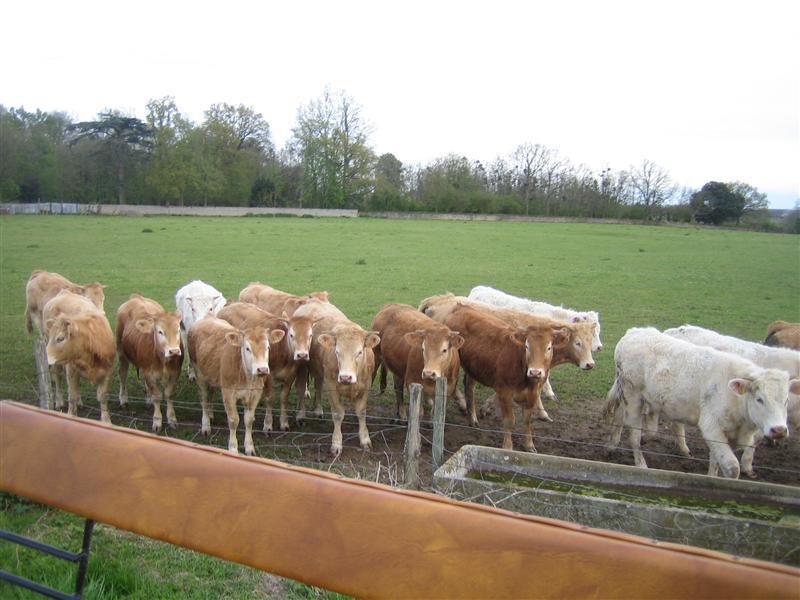 牛さん達。