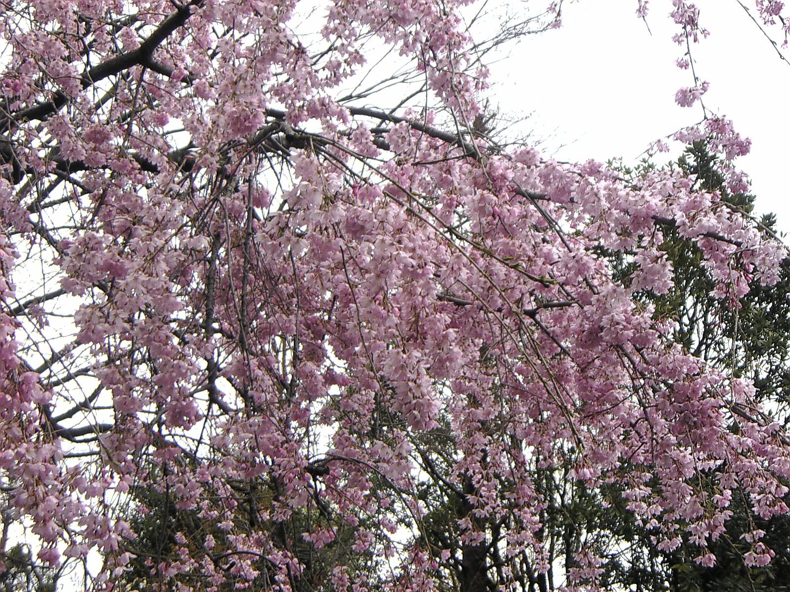 2008 枝垂桜1