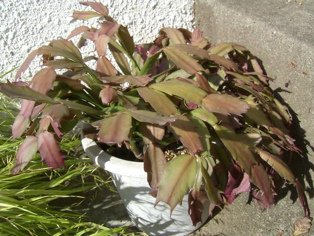 シャコバサボテン の 植え 替え