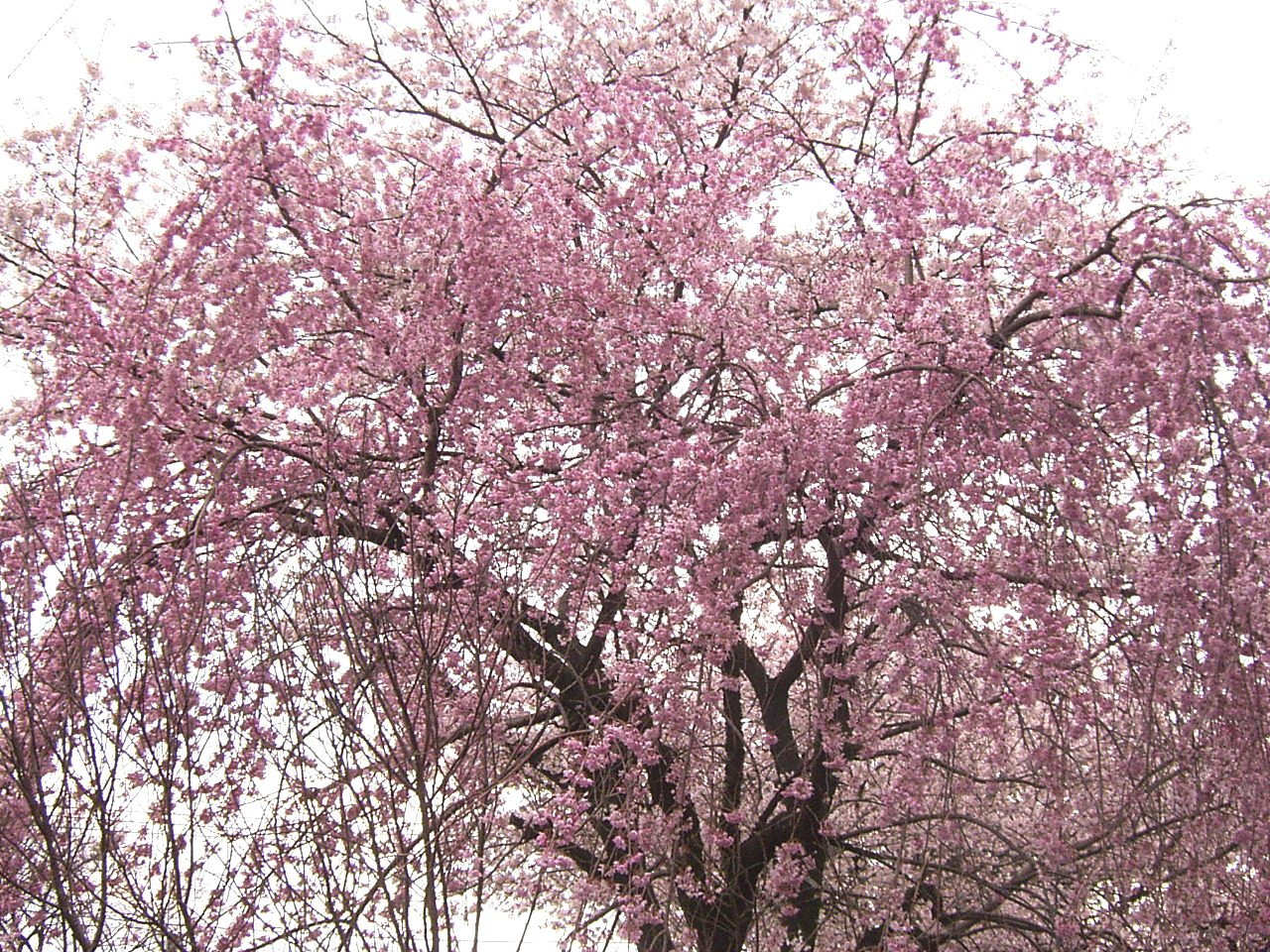 2008 枝垂桜2