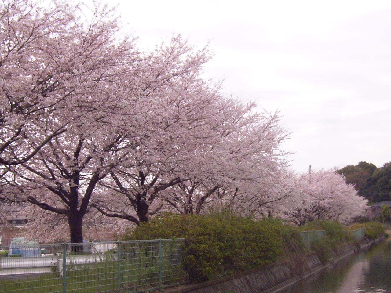 2008 ソメイヨシノ