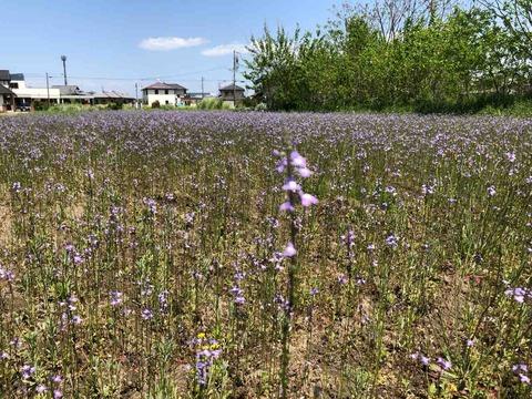 謎の紫の雑草