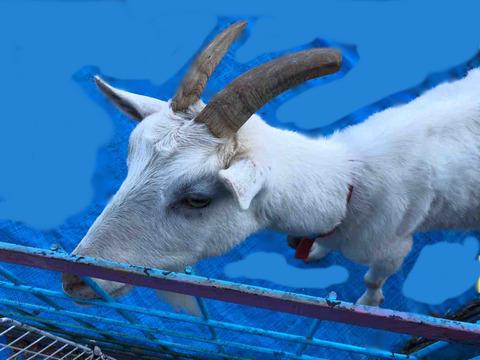 『農業まつり』ヤギがいた!