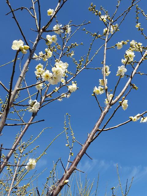 (尾張の地にも梅の花が咲き始めた=江南市内で 撮影・たかのぶ)