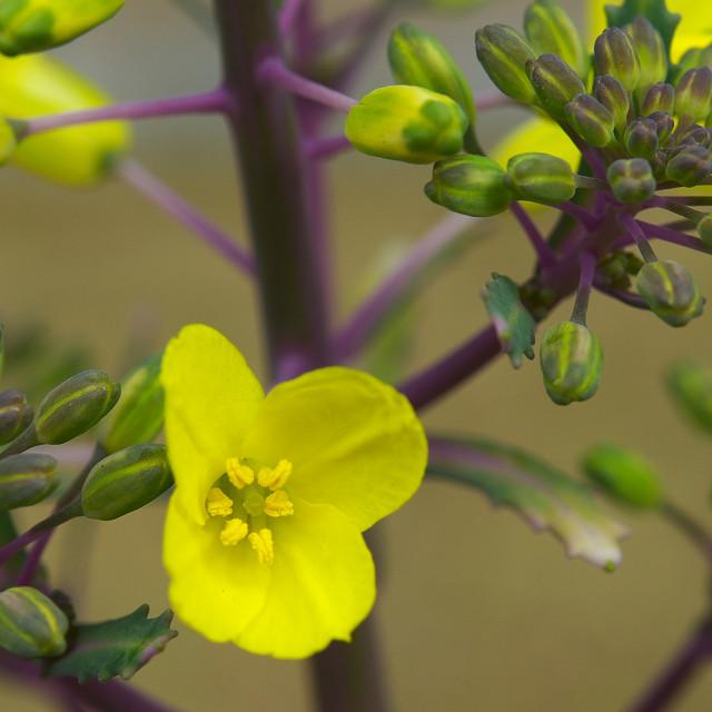 葉牡丹の花