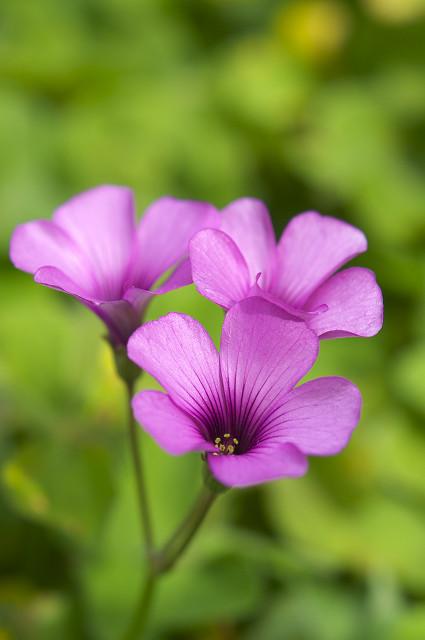 三つ葉の花