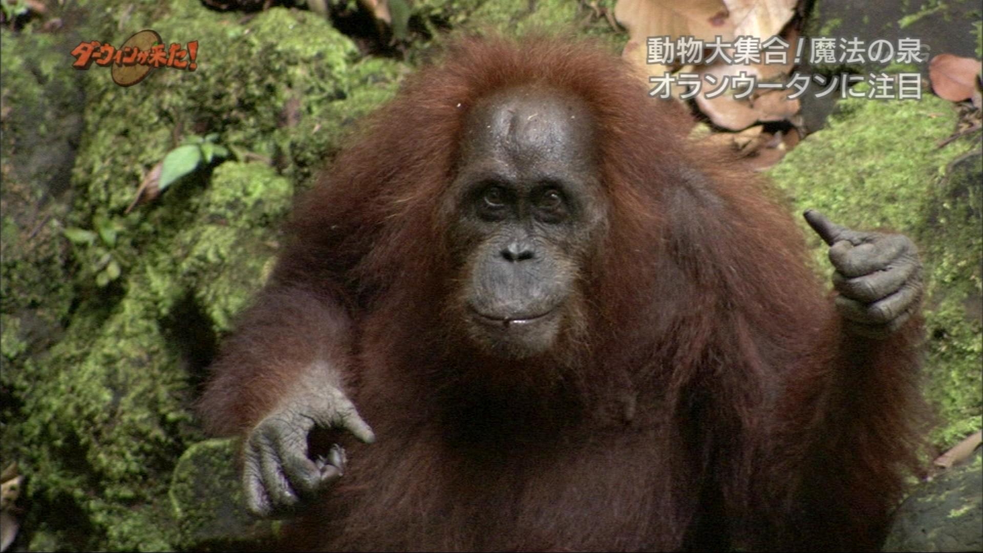 ダーウィンが来た!「ボルネオ熱帯雨林・魔法の泉に動物大 ...