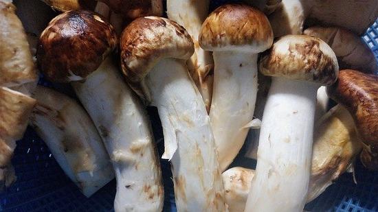 matsutake-mushrooms-3697359_640