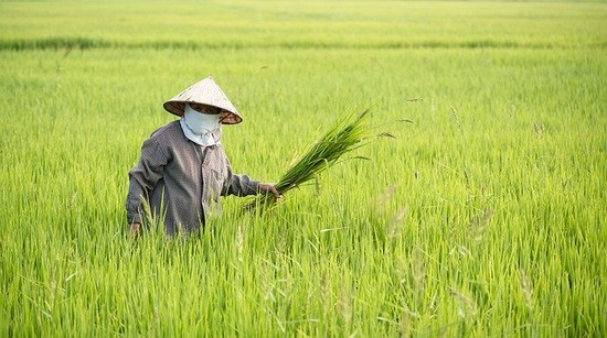 rice-field-5706429_640