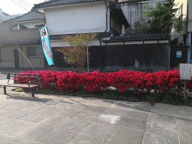 日田市隈町公園の躑躅(ツツジ)見頃です (1)