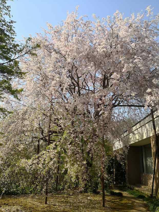 いいちこ日田蒸留所 春の蔵開きで見た『しだれ桜』 20180408