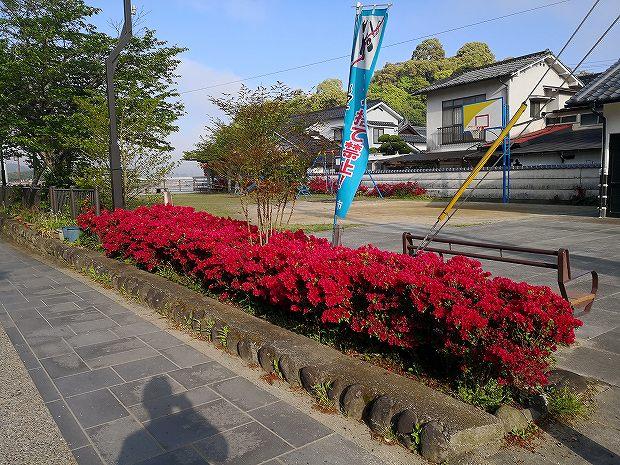 日田市隈町公園の躑躅(ツツジ)見頃です (2)