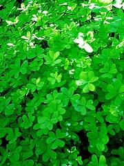 こんもり緑色の葉っぱ