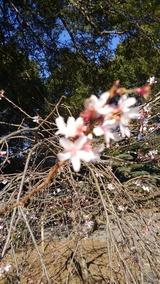 大宮八幡桜2