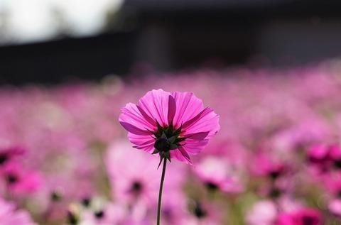 上野①薄紅色の午後(ハーベストの丘)