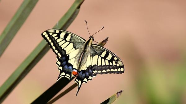 pb butterfly-1150494_640