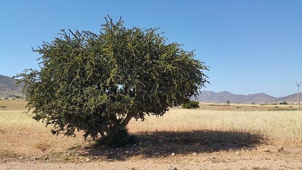 pb アルガンの木morocco-827830_640