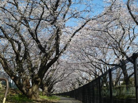 桜並木4,3