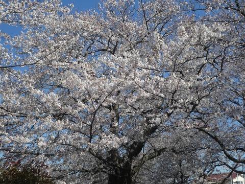 桜4,3アップ