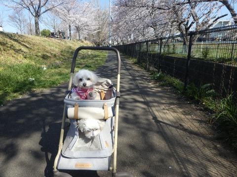 ツーワン桜並木で4,3