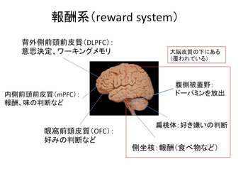 脳の報酬系