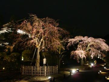 知恩院山門ライトアップと夜桜