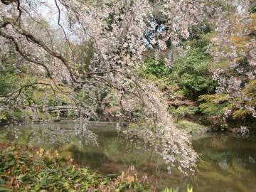 京都御苑近衛池の桜