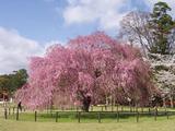 上賀茂神社の枝垂れ桜