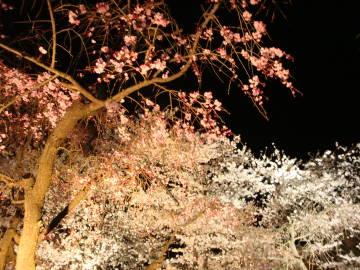 京都府立植物園の夜桜紅白