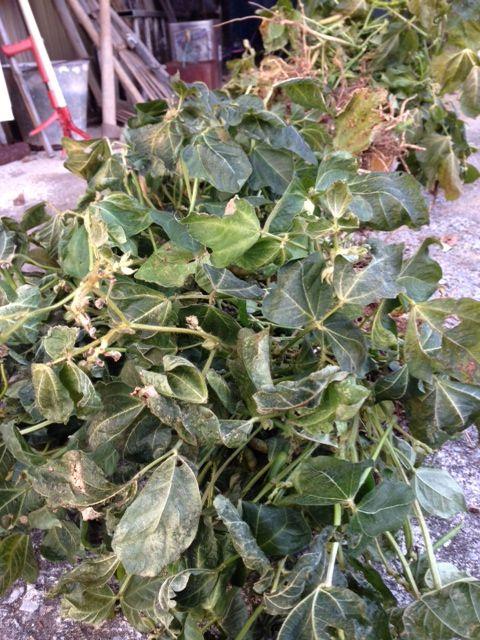 【岡山移住生活 150日目】自然農で、念願の小豆!!!キュウリ、ニンジン収穫しました!!