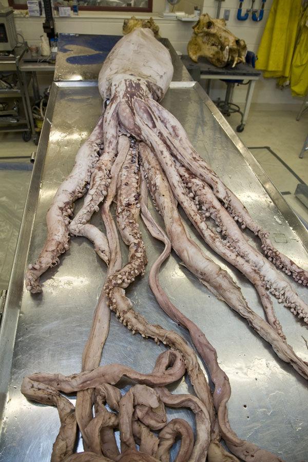 巨大深海生物は少食でのんびり屋?  余白の断面