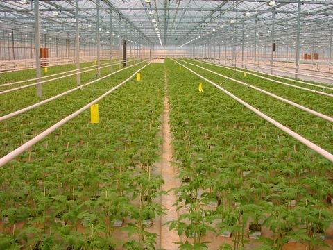 800px-TomateJungpflanzenAnzuchtNiederlande