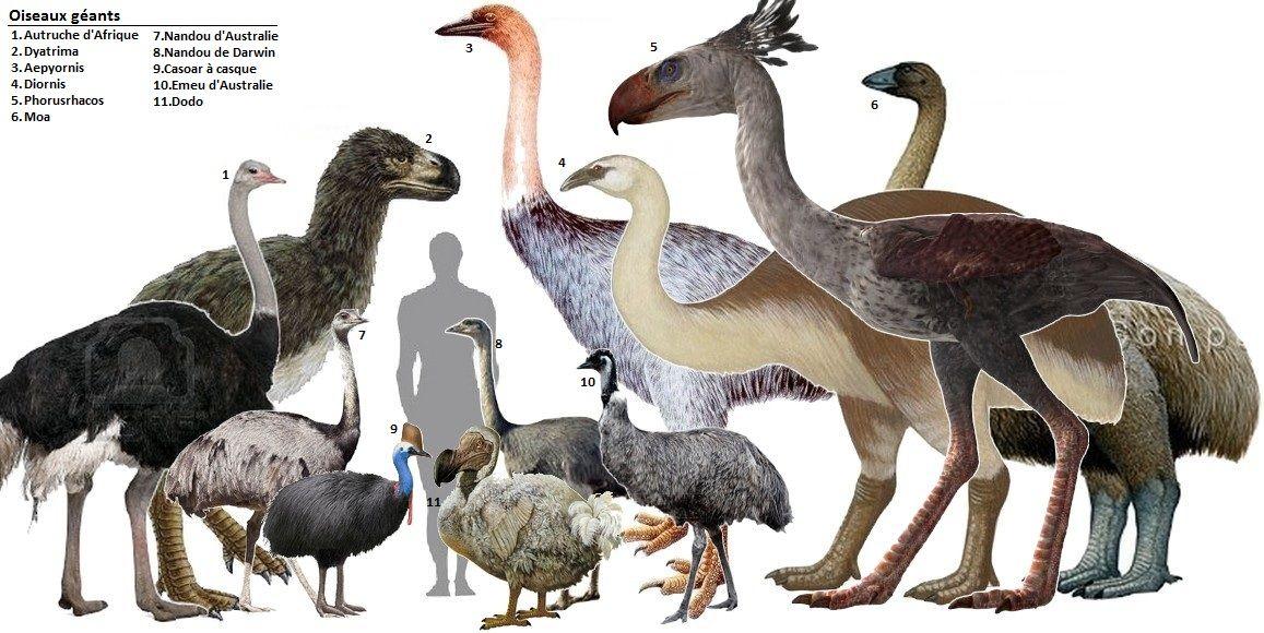 その他の巨鳥と大きさの比較