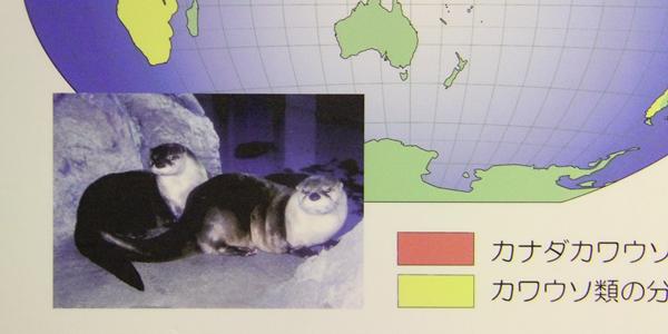 日本海_カナダカワウソ_水槽20120121_02