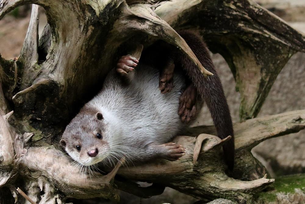 かわうそ初心者のブログ  安佐動物公園 床の下のリオ