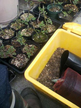 P1008057芽接ぎ苗鉢増し