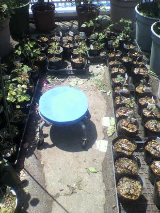P1009161芽接ぎ苗の手入れ2