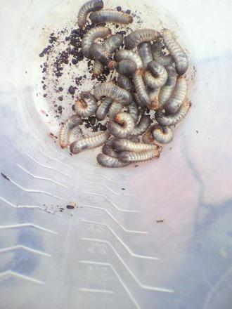 P1003903コガネムシ幼虫